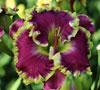 Купить лилейник Фиолетовый MEAN JOE GREEN