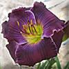 Купить лилейник Фиолетовый VINO DE GRAVIS