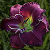 Купить лилейник Фиолетовый KING'S REIGN