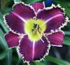Купить лилейник Фиолетовый VELVET VIOLIN