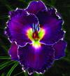 Купить лилейник Фиолетовый MIDNIGHT CRUSH
