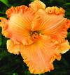 Купить лилейник Оранжевый SULTRY SIMPLICITY