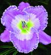 Купить лилейник Фиолетовый TAVARES BLUE MOON