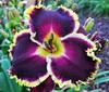Купить лилейник Фиолетовый MAYANS' DAWN
