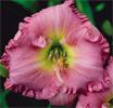 Купить лилейник Розовый SHANTIH