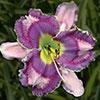 Купить лилейник Фиолетовый VELVET  RAINBOW