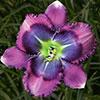 Купить лилейник Фиолетовый BLUE UTOPIA