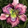 Купить лилейник Розовый MYSTERIOUS ZODIAC
