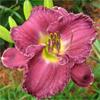 Купить лилейник Фиолетовый SILVER RINGS