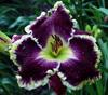 Купить лилейник Фиолетовый MIDNIGHT CASTLE