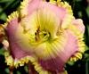 Купить лилейник Розовый MORNINGSIDE