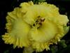 Купить лилейник 2014 NEW DAY SUNSHINE