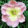 Купить лилейник Розовый GHOST PATTERN