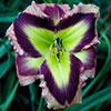 Купить сорта Jane Trimmer JANE'S PRISM