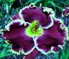 Купить лилейник Фиолетовый COLOSSUS