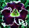 Купить лилейник Фиолетовый MAJESTIC PRIME
