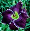Купить лилейник Фиолетовый MAX FACTOR