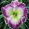 Купить лилейник Фиолетовый JEWEL OF TAVARES