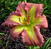 Купить лилейник Розовый MALIBU BARBIE