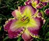Купить лилейник Фиолетовый ROSEMARIE LOUISE