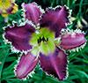 Купить лилейник Фиолетовый VAMPIRE ROMANCE