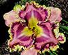 Купить лилейник Розовый VENETIAN RUFFLES