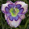 Купить лилейник LOVE IS BLUE Ted Petit