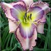 Купить лилейник Розовый UNICORN TAPESTRY