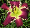 Купить лилейник Фиолетовый JOHNNY BEAR