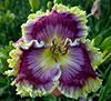 Купить лилейник Фиолетовый HEMMINGWAY