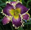 Купить лилейник Фиолетовый FANGS TO YOU