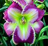 Купить лилейник Фиолетовый GOOD GOLLY