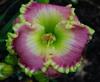 Купить лилейник Розовый EMERALD BAY