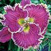 Купить лилейник Фиолетовый EXQUISITE LADY