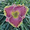 Купить лилейник Розовый NATURAL WONDER