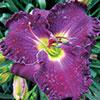 Купить лилейник Фиолетовый ROYAL AWAKENING