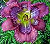 Купить лилейник Фиолетовый GREEK ART