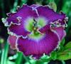 Купить лилейник Фиолетовый VIOLET ETCHING