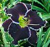 Купить лилейник Фиолетовый SPACECOAST TASMANIAN DEVIL