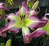 Купить лилейник LINGERING LOVE Judy Davisson