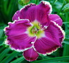 Купить лилейник Фиолетовый MAGNIFICENT MAGPIE