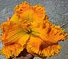 Купить лилейник Оранжевый THE WHOLE NINE YARDS