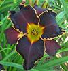 Купить лилейник BLACK FRIDAY John Kinnebrew - James Gossard