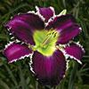 Купить лилейник Фиолетовый EAGLE'S GIFT