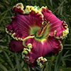 Купить лилейник Фиолетовый BULGARI