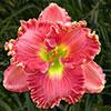 Купить лилейник Розовый NICOLE'S AMERICAN BEAUTY