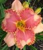 Купить лилейник Розовый JOAN OCHS