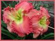 Купить лилейник Розовый WORTH IT ALL
