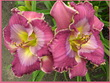 Купить лилейник Розовый SASSY SAM