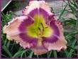 Купить лилейник Розовый BOLERO EYES